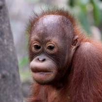Orangutan_FEAT