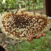 honeybee_cifor